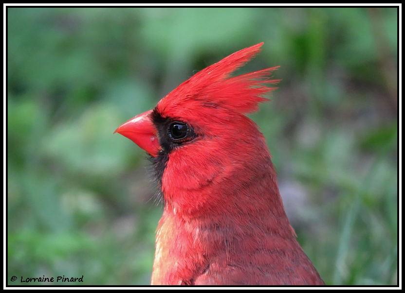 Cardinal rouge 16-07-10