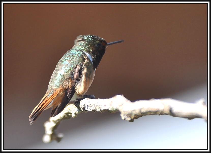 Colibri... 17-02-12