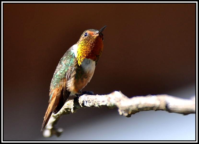 Colibri... 17-02-13