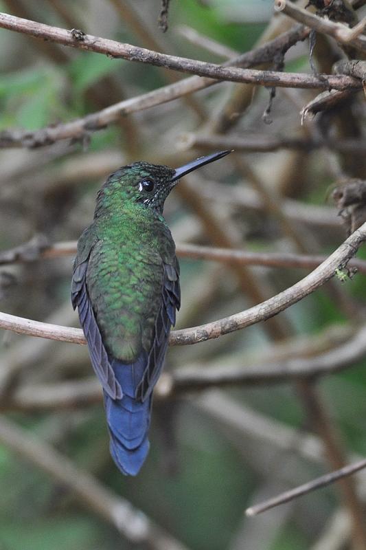 Colibris à identifier 17-02-19