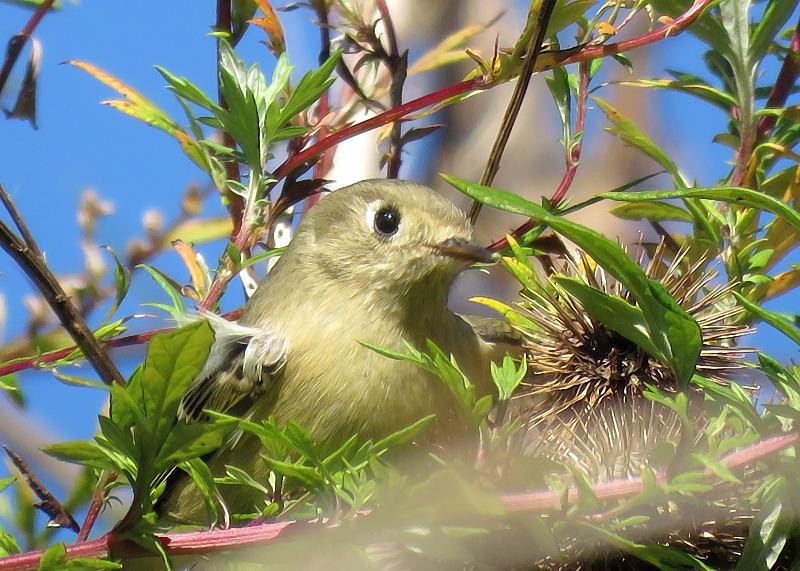 Deux oiseaux à identifier 17-10-11