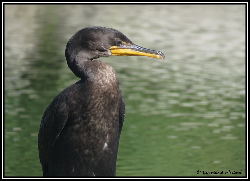 Cormoran à aigrettes 19-07-10