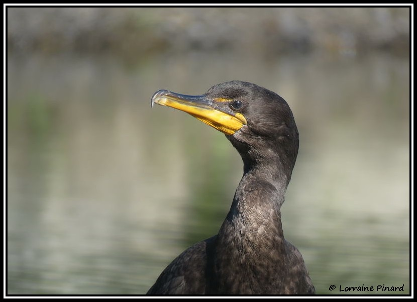 Cormoran à aigrettes 19-07-11