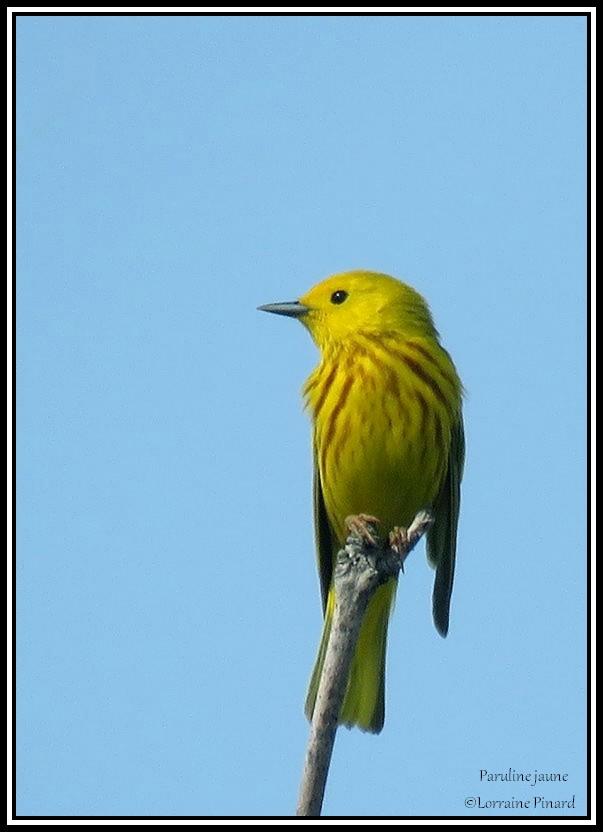 Paruline jaune 21-05-23