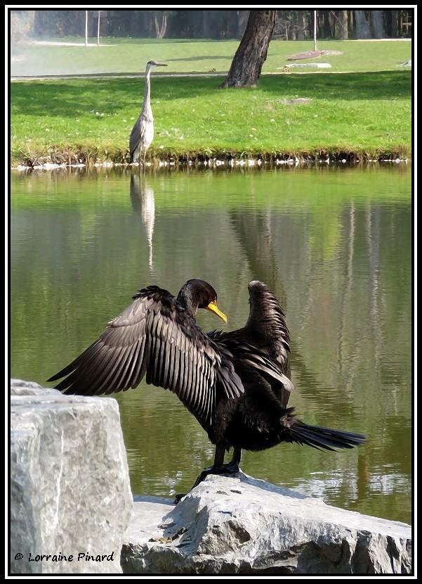 Cormoran à aigrettes et Grand Héron 22-09-10