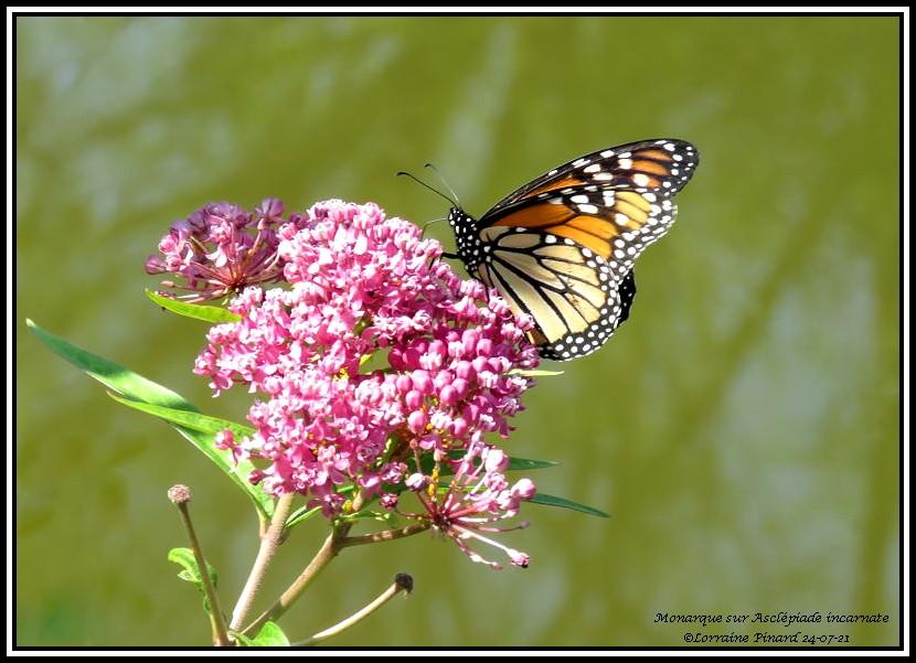 Monarque et libellule 24-07-10