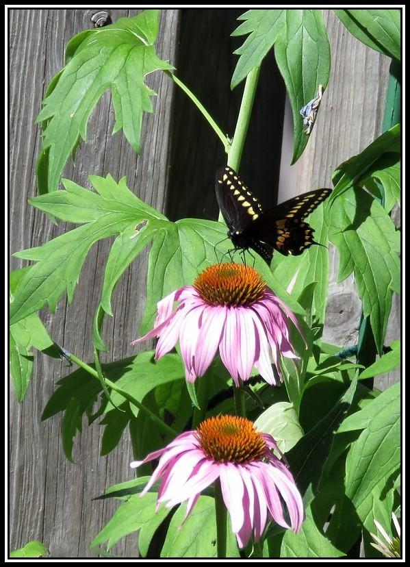 Papillon 26-08-10