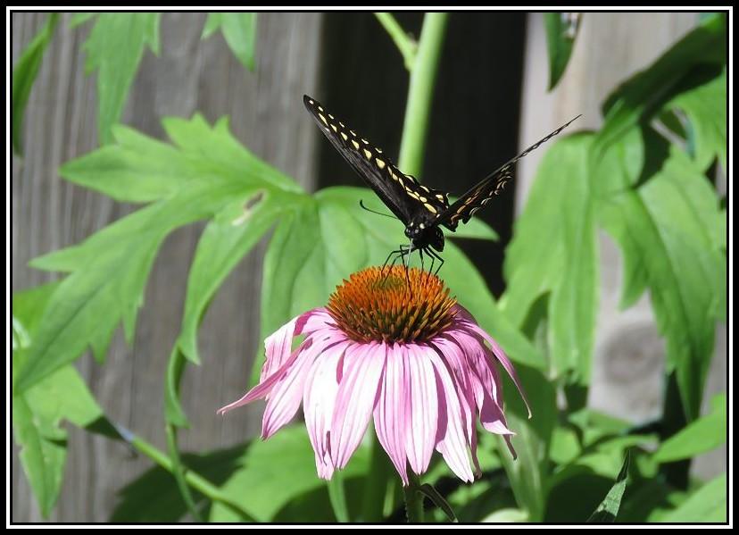 Papillon 26-08-11
