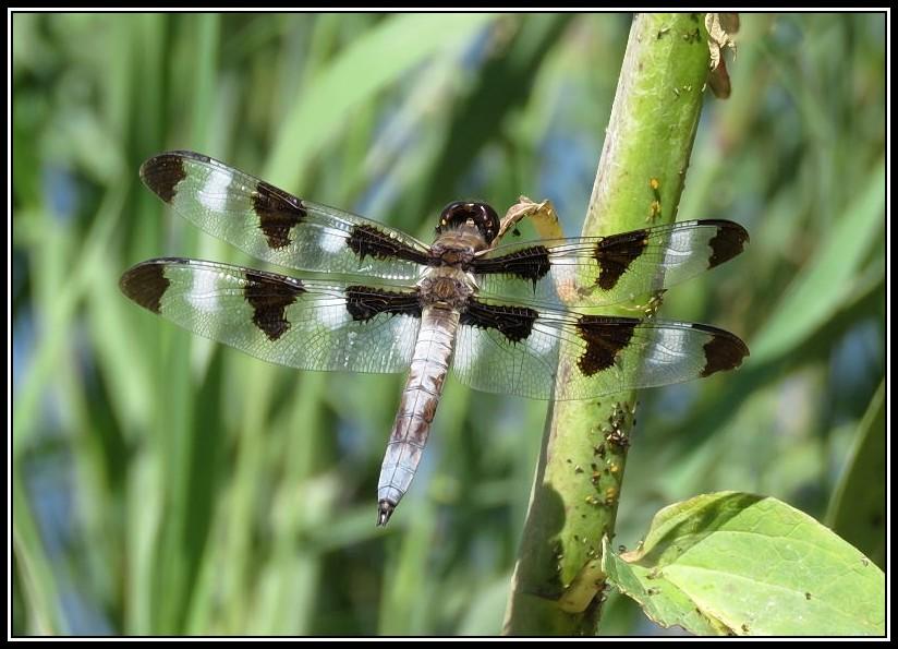 Jolies libellules 27-08-16