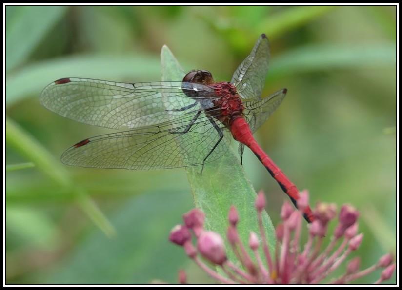 Jolies libellules 28-08-10