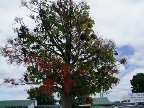 Arbre de Nouvelle Zélande à identifier [Brachychiton acerifolium] N_z1jp10