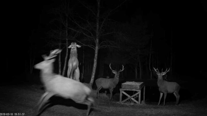 Red Deer Cam (Saarema Island)  - Page 35 Vlcsna62