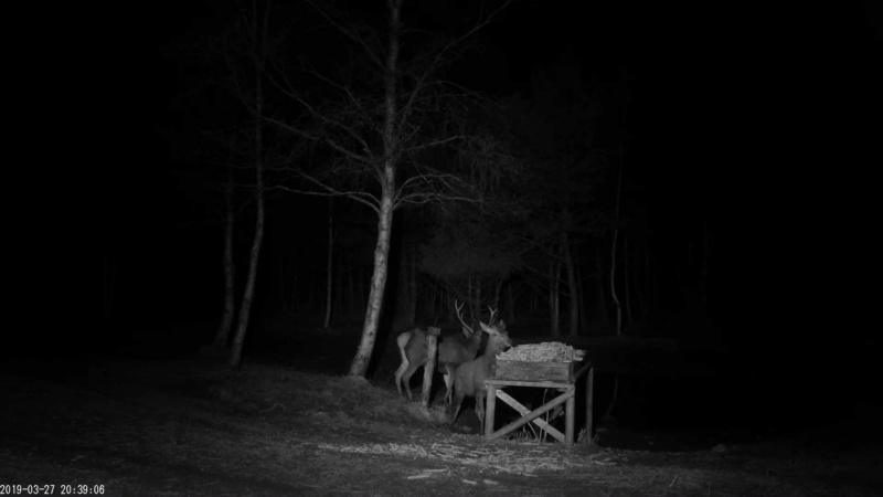 Red Deer Cam (Saarema Island)  - Page 35 Vlcsna67
