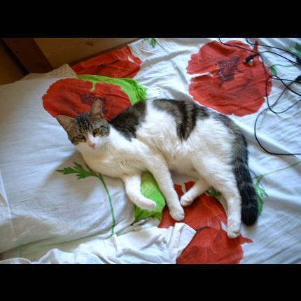 perdu SPOUTH chat male a loriol - 26 drome (AVRIL 2011) Spouch10