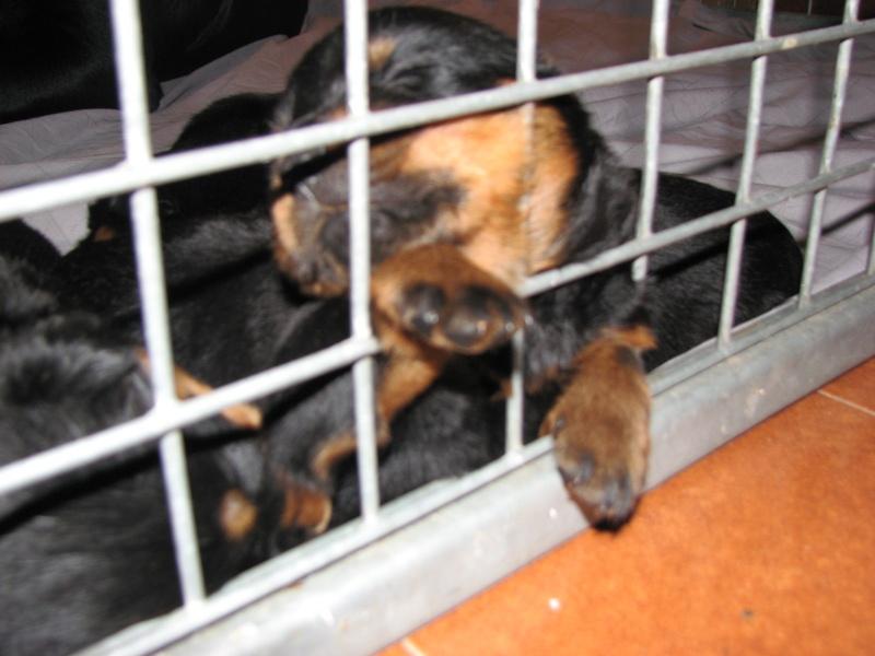 Portée de 12 rottweilers LOF 1ere_p18