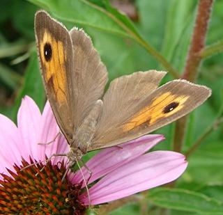 Les papillons satiridae Dsc02329