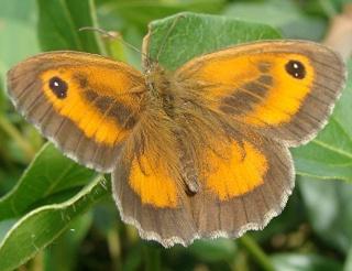 Les papillons satiridae Pa10