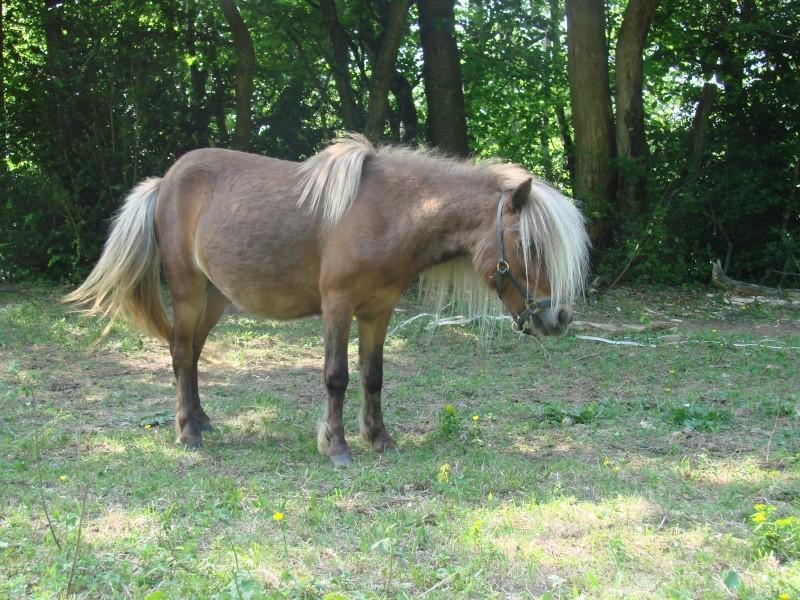 A vendre poulain pie bai silver, pp cheval miniature NMPRS VENDU Dsc01512