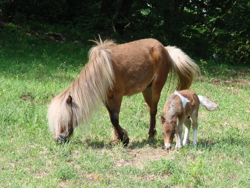 A vendre poulain pie bai silver, pp cheval miniature NMPRS VENDU Dsc01810