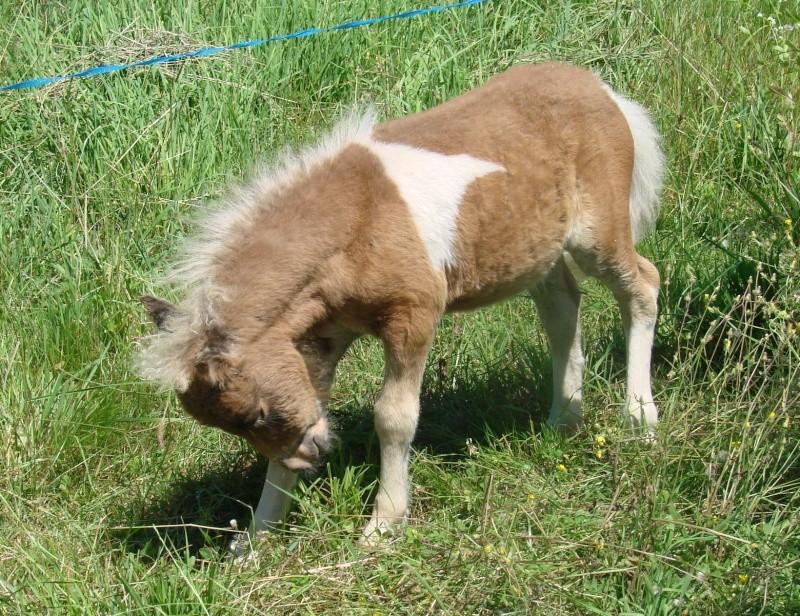 A vendre poulain pie bai silver, pp cheval miniature NMPRS VENDU Dsc02210