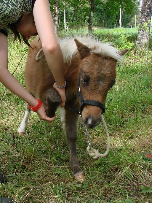 A vendre poulain pie bai silver, pp cheval miniature NMPRS VENDU Dsc03012