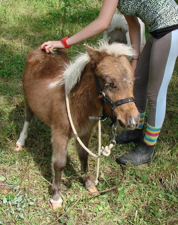 A vendre poulain pie bai silver, pp cheval miniature NMPRS VENDU Dsc03013