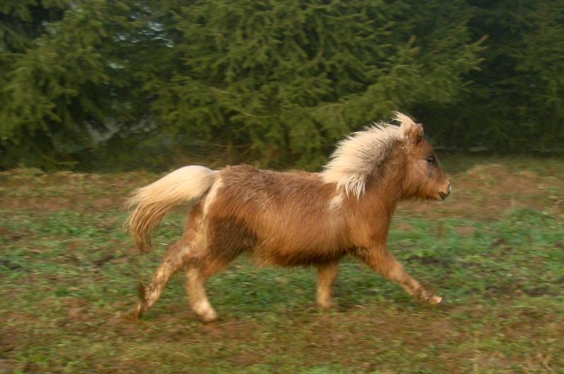 A vendre poulain pie bai silver, pp cheval miniature NMPRS VENDU Dsc03310