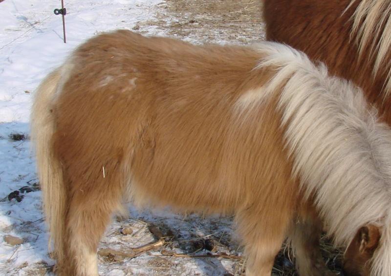 A vendre poulain pie bai silver, pp cheval miniature NMPRS VENDU Dsc03710