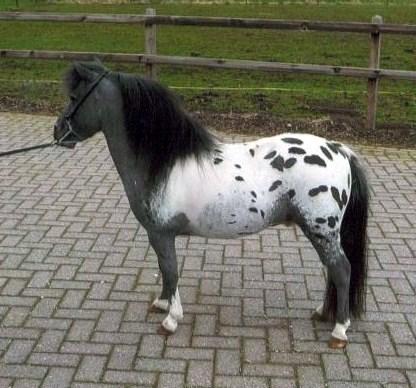 A vendre poulain pie bai silver, pp cheval miniature NMPRS VENDU Sans_t11