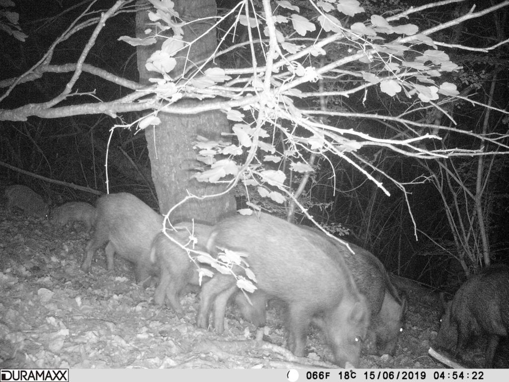 Peste porcine : On est en plein dedans !!! (Partie 3) - Page 9 Pict0610