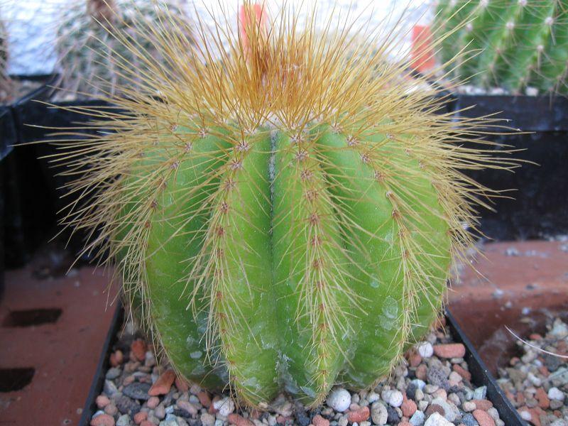 Notocactus warasii K-augu81