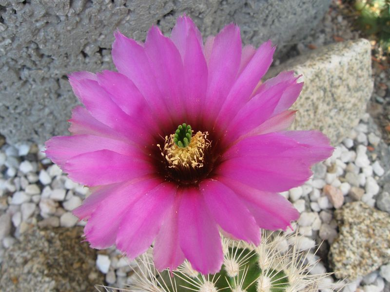Echinocereus reichenbachii ssp. reichenbachii var. baileyi K-jul114