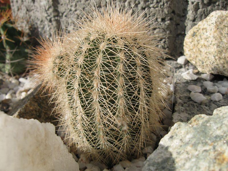Echinocereus reichenbachii ssp. reichenbachii var. baileyi K-nove18