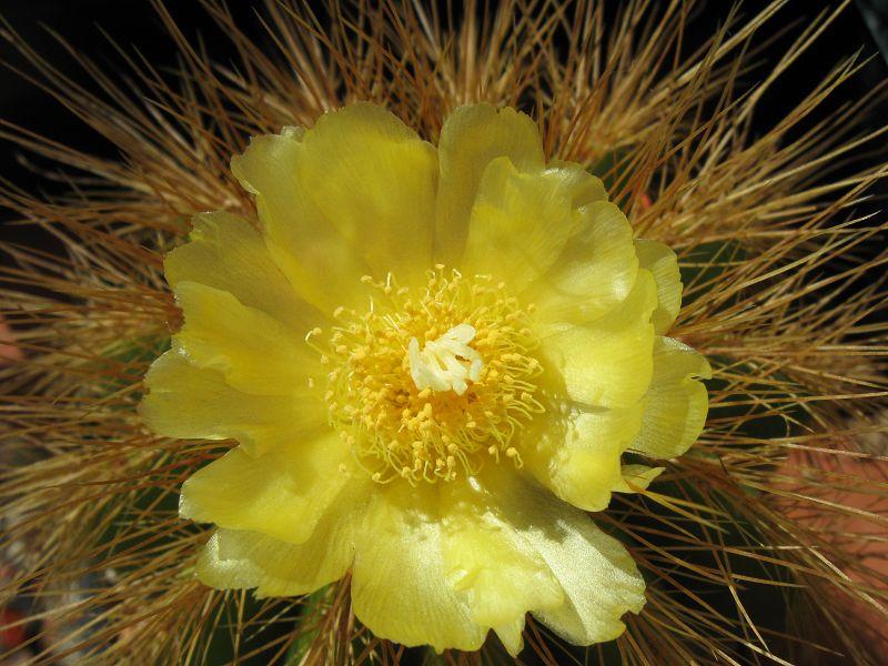 Notocactus warasii K-sept86
