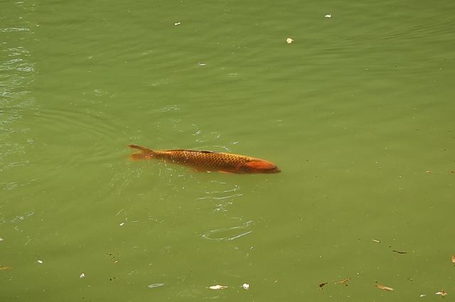 pesce tigre Pesce_10