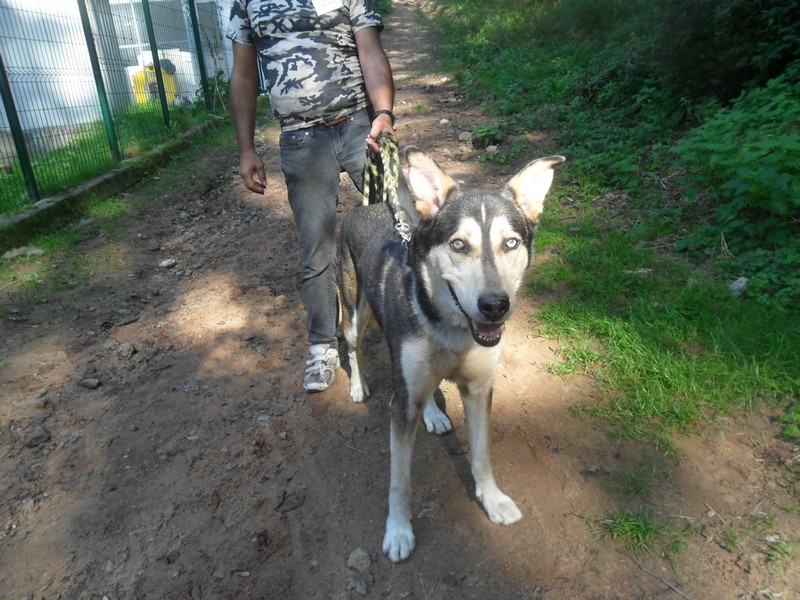 RAGA gentil x husky sibérien berger allemand  (11ans)(REF57) .DECEDE Sam_0119