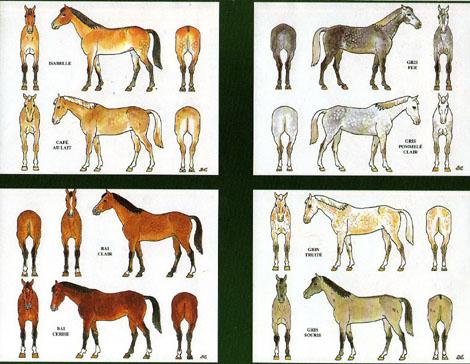 Des robes des chevaux Chevau10