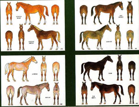 Des robes des chevaux Chevau11