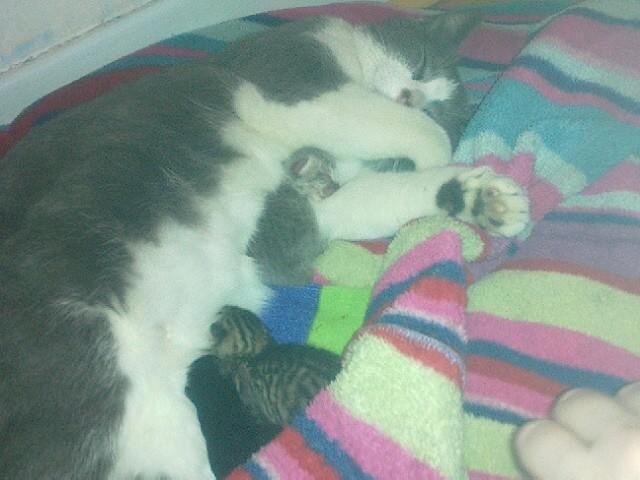 [ADOPTION]  Louna superbe chatte grise et blanche - HENIN BEAUMONT - Prise en charge 15/03/2012 15032010