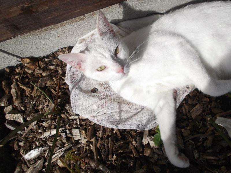 [ADOPTION] Blanchette superbe chatte blanche - VALENCIENNES - Prise en charge du 20/06/2012 56223210