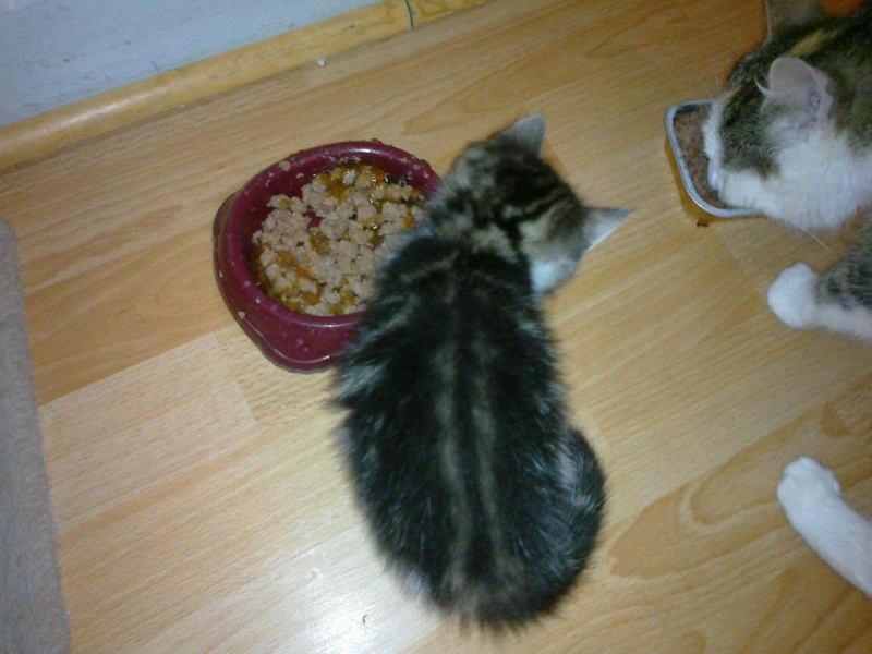 Heiko beau chaton tigré et blanc - BEUVRAGES 57921311