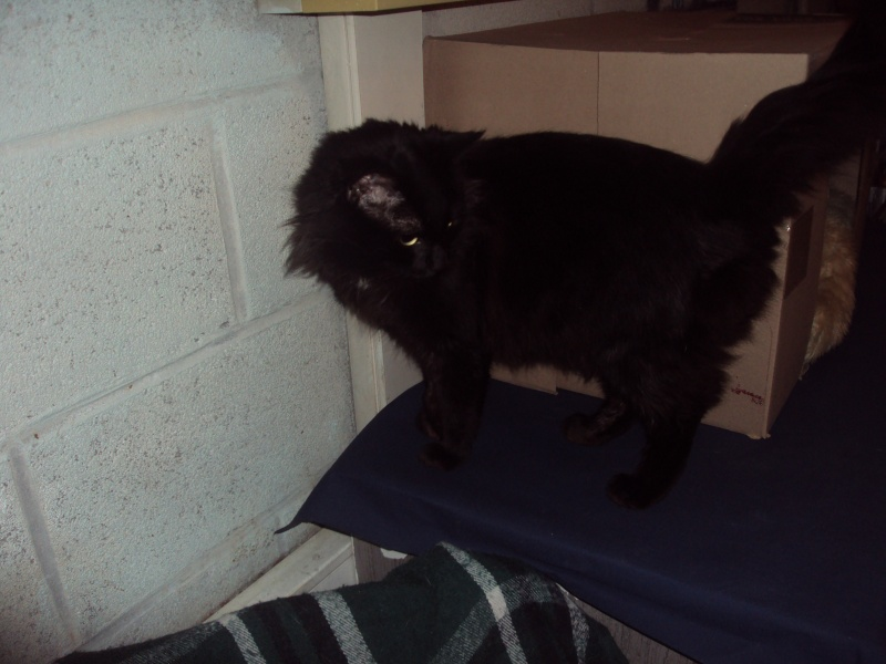 Prise en charge du 20/02/2012 Câlin jeune chat angora noir Dsc02611