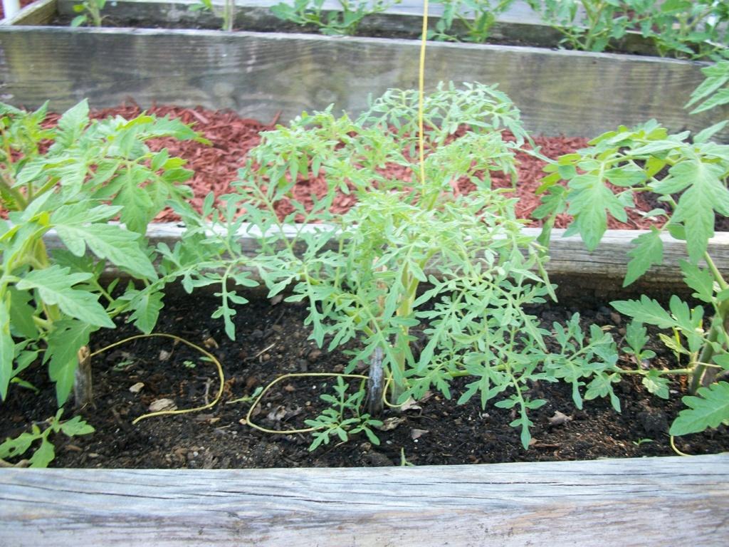 Fern leaf tomato? 100_7010