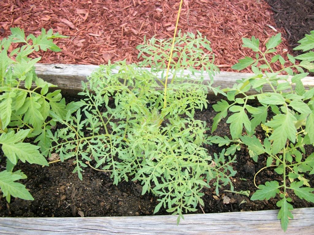 Fern leaf tomato? 100_7011