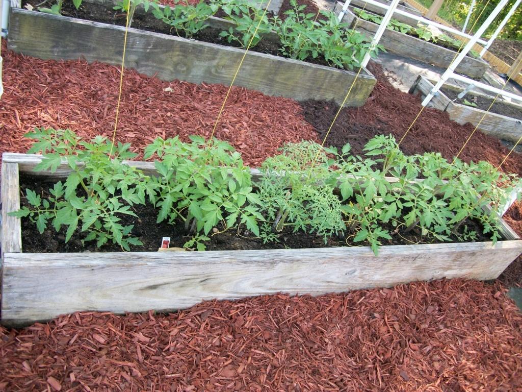 Fern leaf tomato? 100_7012