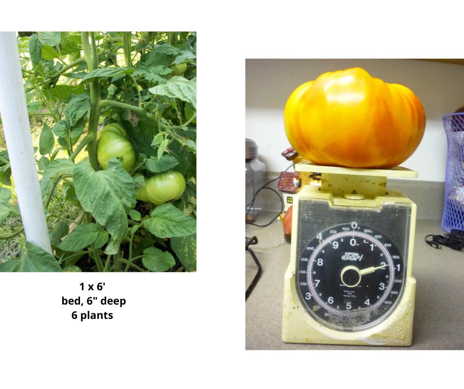 ISO Goose Creek tomato seeds 1_x_6_10