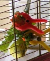 Petite perruche pas très intéressée ... Repas_10