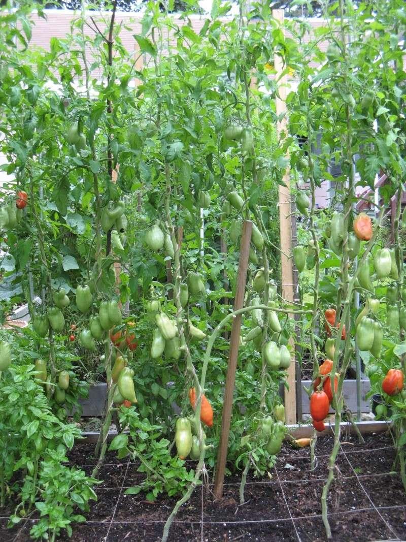 Single Stem Tomatoes 00414