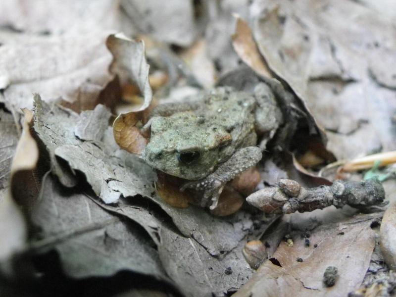 quelques amphibiens Imgp2510