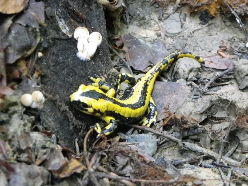 quelques amphibiens Imgp4516